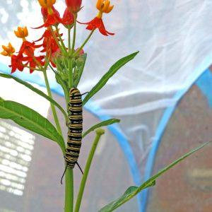 Caterpillar kit refill – 6 caterpillars and plants