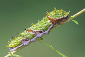 A mature Orchard caterpillar changes its colour to green and looks alot like a green branch.